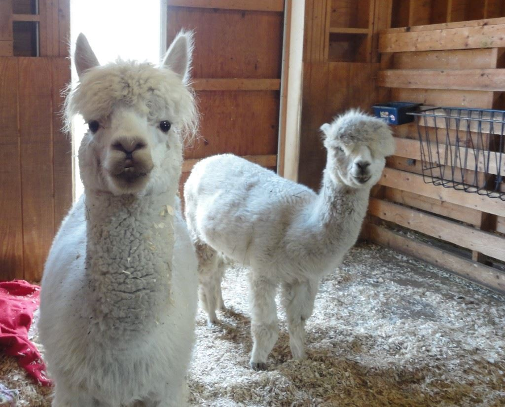 Percy and Rudy Alpacs
